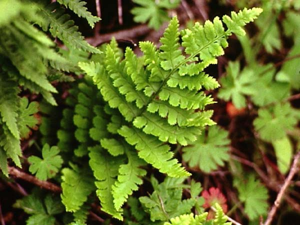 Dryopteris arguta = Coastal Wood Fern