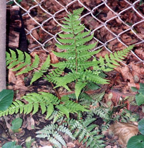 Dryopteris championii = Champion's Wood Fern