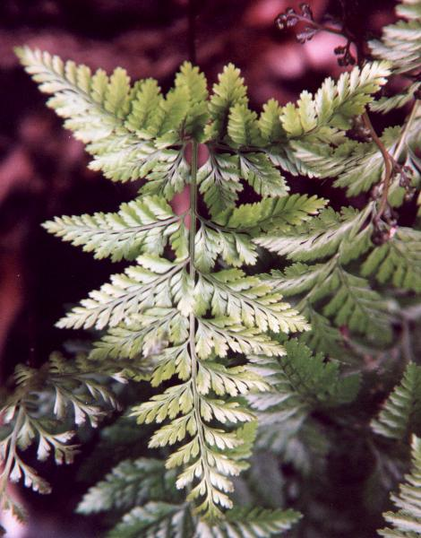 Davalia = Squirrel's Foot Fern