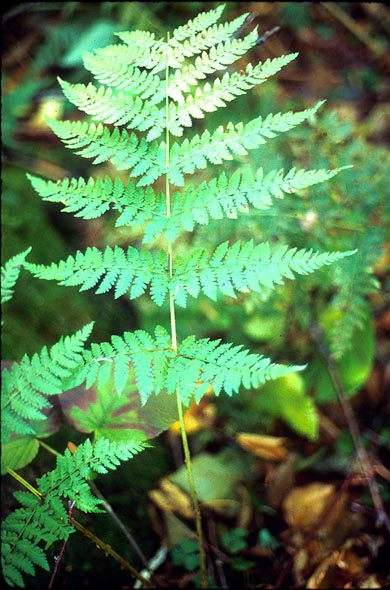 Dryopteris intermedia = Evergreen Wood Fern