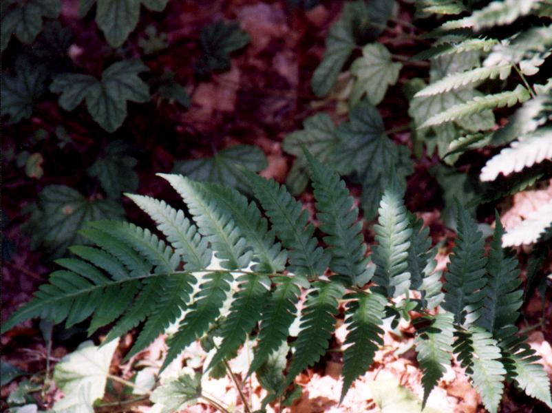Dryopteris celsa = Log Fern