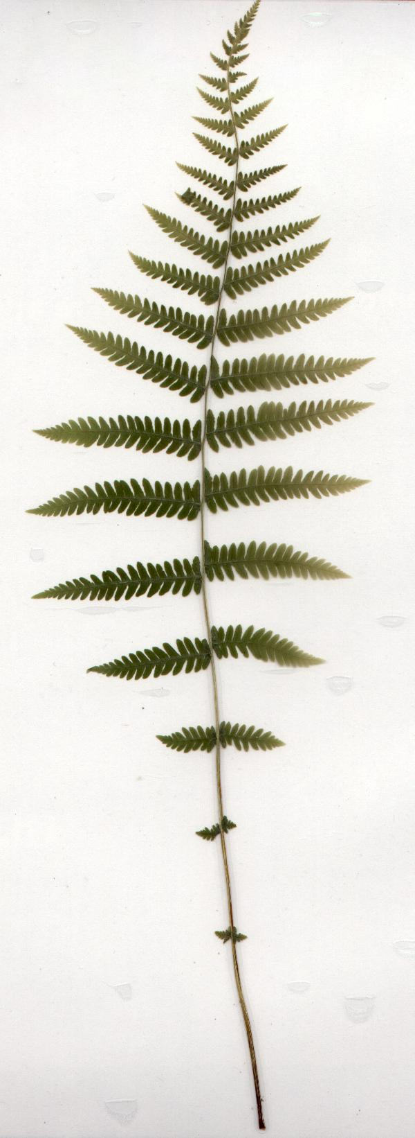 Thelypteris noveboracensis = New York Fern