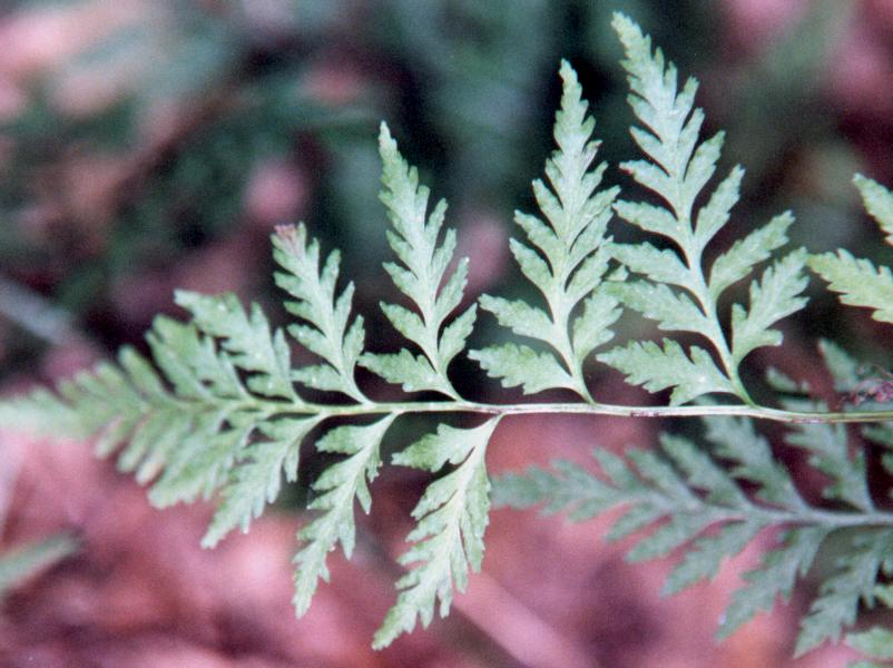 Cystopteris protrusa = Southern Bladder Fern
